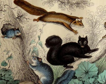 1860's FLYING SQUIRREL PRINT,hand colored antique engraving,vg condition,Grey, Common British, Petaurus,trees,plants,green,brown,beige,ivy