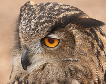 Great horned owl, owls, raptore, photo, print, photography, wall art, home decor, nature photography, free shipping, wildlife, metal