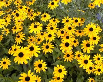 Pre-order for Spring 2018/ 10 Rooted Live Perennial Rudbeckia Goldstrum aka Black-Eyed Susans, Stunning, Long Lasting Blooms
