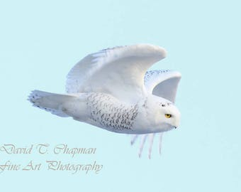Snowy Owl Descent