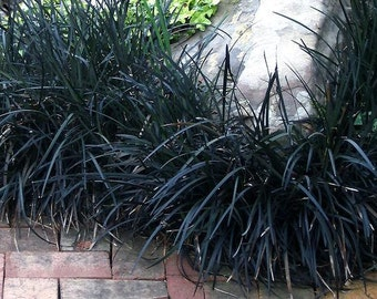 Black Mondo Grass Plants Grown Organically 3 - 4 Inch Containers - Ornamental Grass Great For Container Gardens or Shade Planting