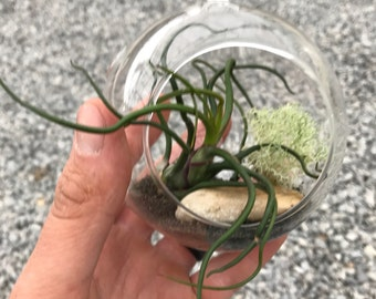 DIY Bulbosa Airplant Terrarium Kit