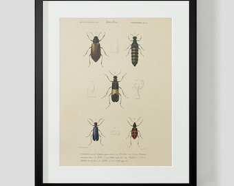 Vintage Insect Coleopteres Entomology Plate 8