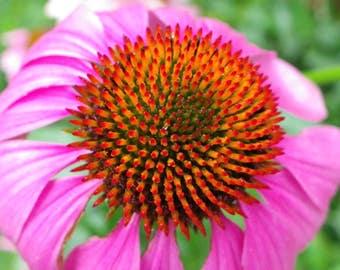 25+   ECHINACEA PURPLE CONEFLOWER / Perennial / Deer Resistant / Medicinal Flower Seeds