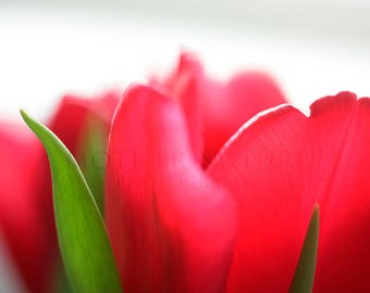 Photograph of a Red Tulip Flower Detail