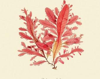 """Vintage Sea Weed """"Delesseria Lyallii"""" Print 8x10 P183"""