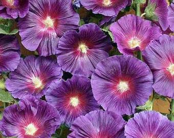 Purple Hollyhock Flower Seeds / Alcea / Perennial  50+