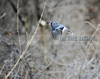 Blue Jay - fine art photography - Bird, Home Decor, Wall Art