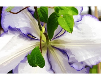 Clematis 1 - nature photograph