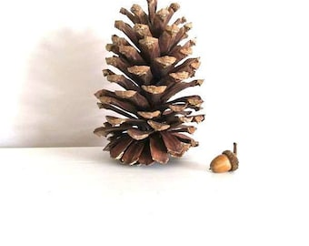 Animal rescue charity fundraiser. ginormous huge large pinecone crafting supply with set of acorns for your fall crafting  ~ fall decor