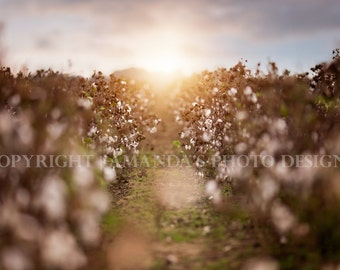 Cotton Field Digital Background