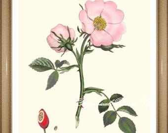 "Roses Print No 23. Wild rose. Botanical Prints. Pink Rose Print.5x7"", 8x10"" 11x14"""