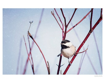 Nature Photography PRINT, Chickadee in the Snow-1, Wall Art