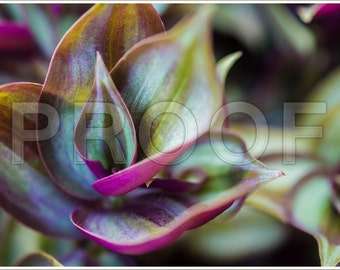 Wandering Jew Plant (Zebrina pendula) Digital Download Only
