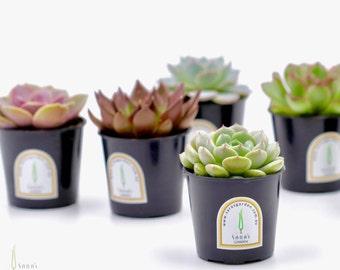 100 x Echeveria succulent pot, Potted succulent wedding favours, succulent wedding bombonieres, mini succulent Sydney, succulent pot 6cm