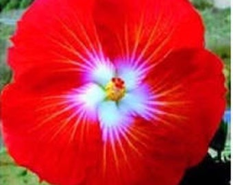 Tropical Hibiscus FlowerSeeds (Red/White). Qty. 20 Seeds