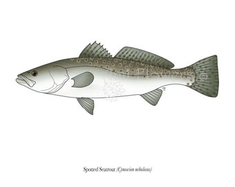 Spotted Seatrout - 5x7 Print