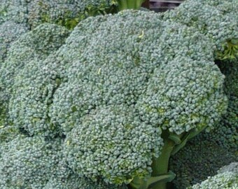 500+ Broccoli Seeds- Waltham Heirloom
