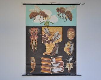 Original Pull Down School Chart. Honey Bee.  Mid Century Entymology.  Jung Koch Quentell. Germany. Pull down school chart. 1235