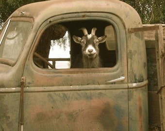 Truck Driver Goat, Photo on 8x8 wood block