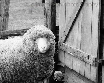 farm animal photography nursery fine art sheep photograph rustic wall art rustic home decor Feeling Sheepish II