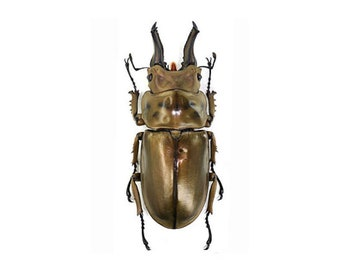 Stag Beetle Allotopus rosenbergi Male Real Insect Golden