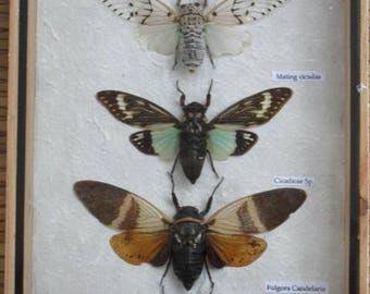 5 Real Clcada Insect Taxdermy Collection In Wooden Box