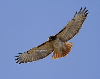Red tailed hawk, Photo, bird, hawk, wall art, home decor, nature, bird photography, wildlife photography, shop, best, free shipping, metal