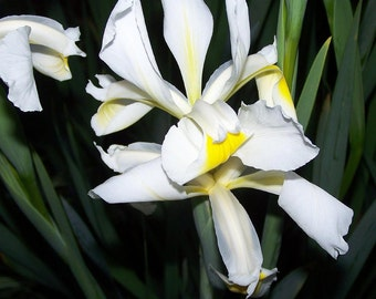White Siberian Iris, Six Rhizomes, Sun or Shade, Easy Care, Orchid-like Flowers Bulbs Plants Garden