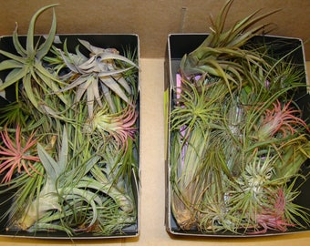 10 x Different Tillandsia Air Plants