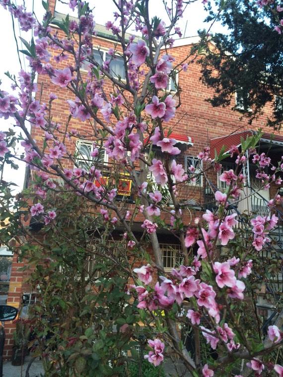 Coupe de nectarines arbre fruitier - Coupe des arbres fruitiers ...