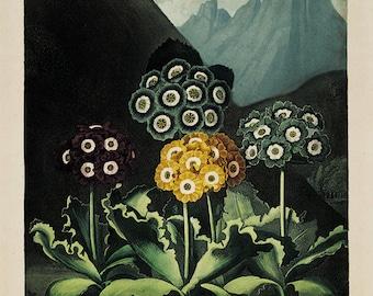Primula art print vintage flower art print Botanical Art Prints Home Decor Wall art flower Victorian art Garden Wall Art French prints