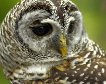 owl photograph, bird photography, animal pictures, nature photography, wildlife photos, wall art Deco gift, Barred owl, wild birds, fine art