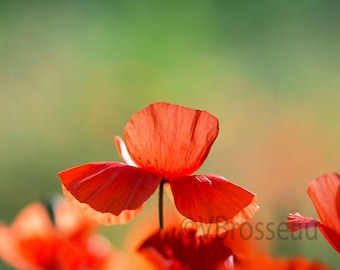 flower red poppy - pretty poppy - poppy flower picture