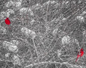 2 Cardinals on Snow Covered Forsythia