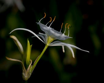 Cahaba Lily, Flower, Art, Photography, Lily, Cahaba River, Shoal Lily