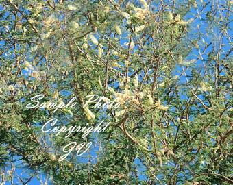 Gum seeds etsy 5 seeds acacia gum rare white flowers valued tropical tree container gardening aged look for bonsai senegalia senegal acacia senegal mightylinksfo
