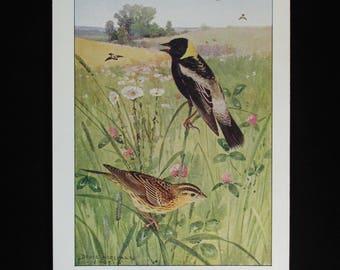 Vintage Bobolink Print and Educational Leaflet, Audubon Society