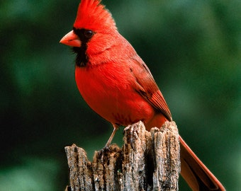 Big Red Male Cardinal by Michael L. Smith. Dated. Signed. Ships from Photographers studio