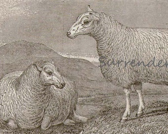 Sheep Breeds Cheviot & Black Faced Heath 1892 Victorian Husbandry Antique European Agriculture Chart To Frame Black and White