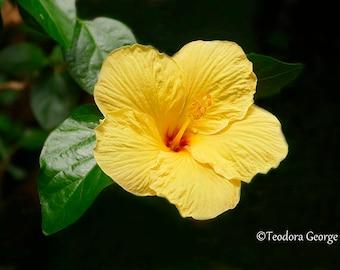 Digital Download Yellow Hibiscus Flower Photo Print, Botanical, Flower Photography