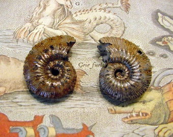 2 pc Lot Fossil Whole Ammonites w/pyrite from Russia Dubrovsky mine, Jewelry Supply, Wire Wrapping, Altered Art etc 12tu33 prB