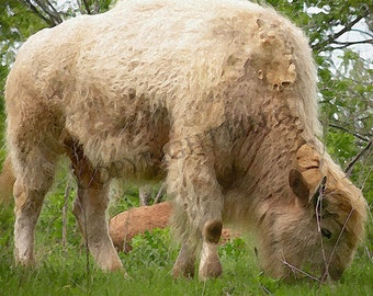 Animal White Buffalo Bison Grazing 11x14 Limited Edition Print