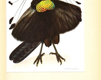 Wahnes parotia art, 1961 Vintage poster, Paradise bird wall decor Bird print picture of parotia Vintage bird decor Bird art Ornithology gift