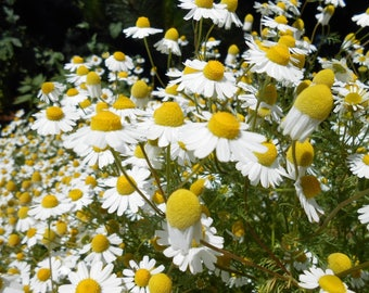 Chamomile German Seeds. Save Sale All Herb Easy Grow Heirloom Choose Sizes  #173