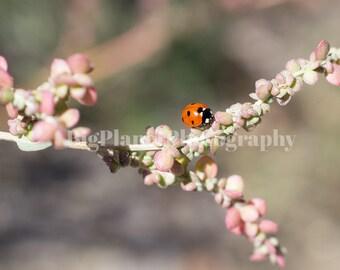 Ladybug, Fine Art Photograph, Botanical, Insect, Wildlife, Nature, Spring, Summer