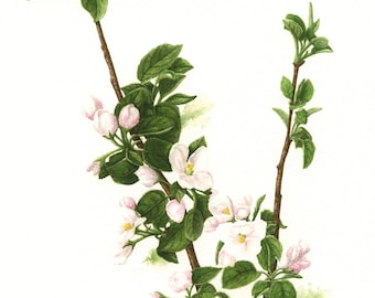 Apple Blossom Botanical Watercolour Print