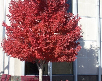 "1 Red Maple Tree (Acer Rubrum)4"" container"