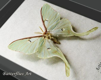 North American Moon Moth Actias Luna Real Framed In Museum Quality Display