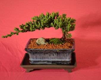 Japanese Juniper Bonsai, Traditional Bonsai, 5 years old with windswept style, free watering tray.